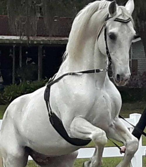 Herrmann's Lipizzaner Stallion in training at Myakka City, Florida