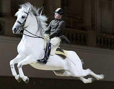 Lipizzan Stallion performing in Vienna.