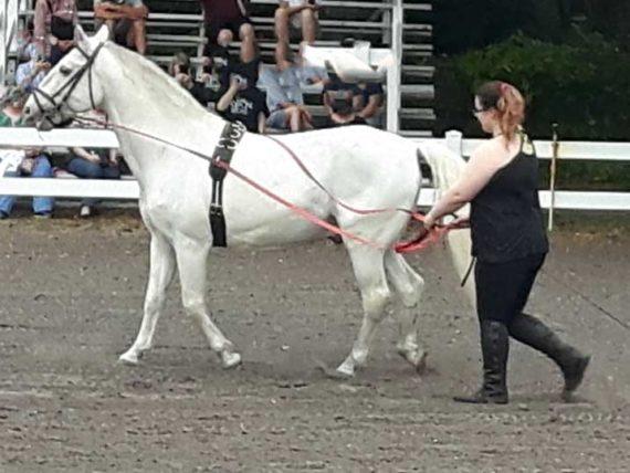 Lipizzan Stallion performing at Herrmann's family ranch near Myakka City, FL.