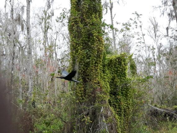 Invader species at Highlands Hammock State Park, Sebring Fl