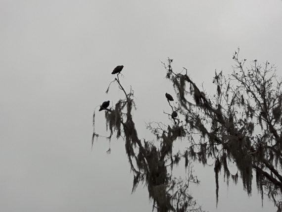 Vultures at Highlands Hammock state park