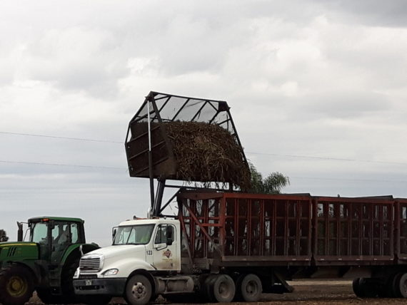 A full buggy / container of sugar cane is dumped into the back of the semi containing sections, each one of which holds one full buggy load.