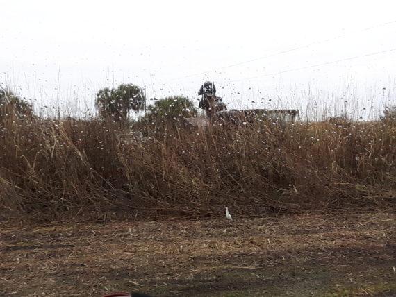 Raw sugar in the fields south of Lake Okeechobee Florida